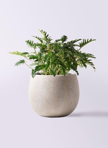 観葉植物 クッカバラ 7号 テラニアス ローバルーン アンティークホワイト 付き