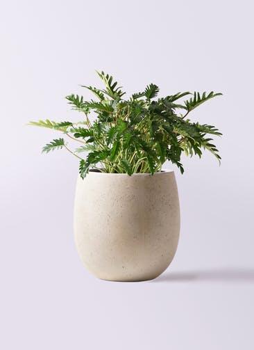 観葉植物 クッカバラ 7号 テラニアス バルーン アンティークホワイト 付き