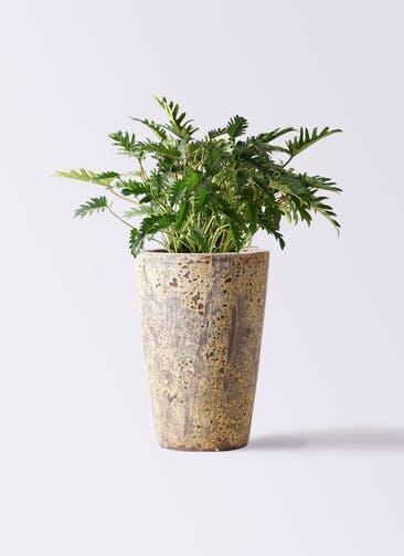 観葉植物 クッカバラ 7号 アトランティス クルーシブル 付き