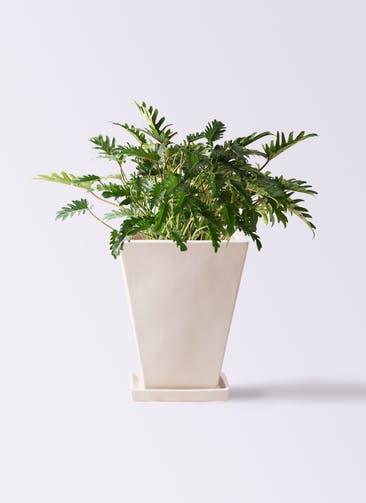 観葉植物 クッカバラ 7号 スクエアハット 白 付き