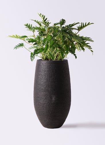 観葉植物 クッカバラ 7号 フォンティーヌトール 黒 付き