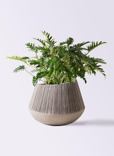 観葉植物 クッカバラ 7号 エディラウンド グレイ 付き