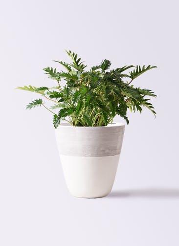 観葉植物 クッカバラ 7号 ジュピター 白 付き