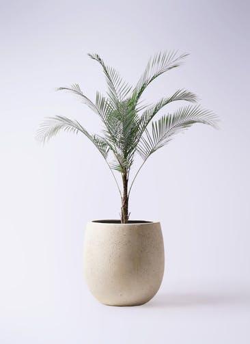 観葉植物 ヒメココス 8号 テラニアス バルーン アンティークホワイト 付き