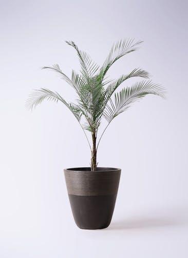 観葉植物 ヒメココス 8号 ジュピター 黒 付き