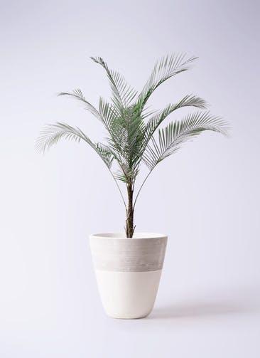 観葉植物 ヒメココス 8号 ジュピター 白 付き