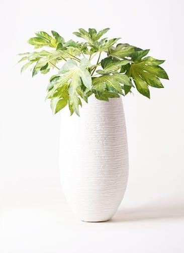 観葉植物 ヤツデ 7号 フォンティーヌトール 白 付き