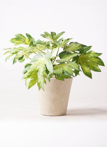 観葉植物 ヤツデ 7号 フォリオソリッド クリーム 付き