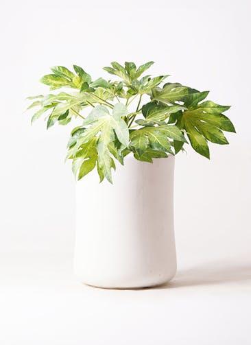 観葉植物 ヤツデ 7号 バスク ミドル ホワイト 付き