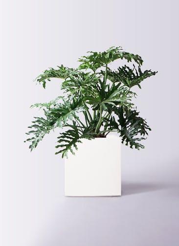 観葉植物 セローム ヒトデカズラ 8号 ボサ造り バスク キューブ 付き