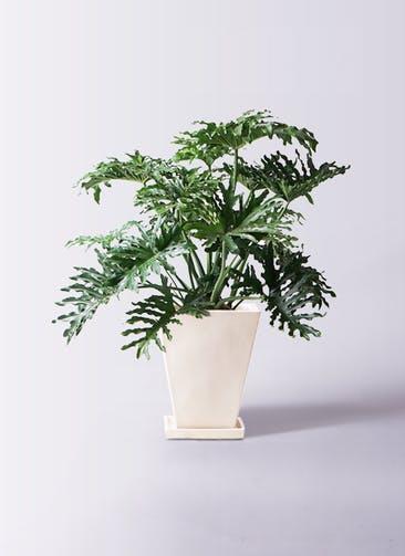 観葉植物 セローム ヒトデカズラ 8号 ボサ造り スクエアハット 白 付き