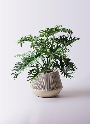 観葉植物 セローム ヒトデカズラ 8号 ボサ造り エディラウンド グレイ 付き