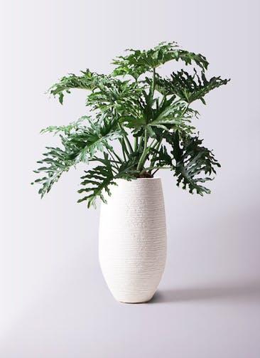 観葉植物 セローム ヒトデカズラ 8号 ボサ造り フォンティーヌトール 白 付き
