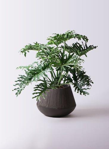 観葉植物 セローム ヒトデカズラ 8号 ボサ造り エディラウンド 黒 付き