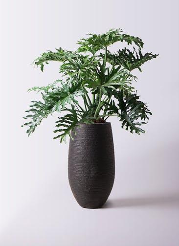 観葉植物 セローム ヒトデカズラ 8号 ボサ造り フォンティーヌトール 黒 付き