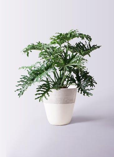観葉植物 セローム ヒトデカズラ 8号 ボサ造り ジュピター 白 付き