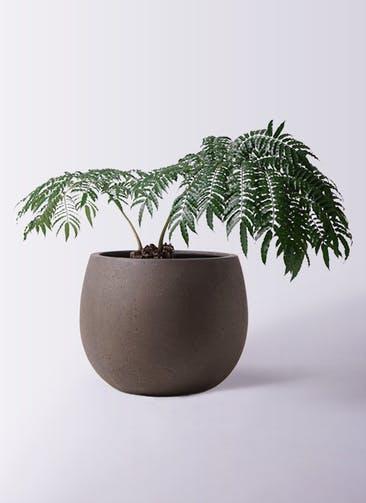 観葉植物 リュウビンタイ 8号 テラニアス ローバルーン アンティークブラウン 付き