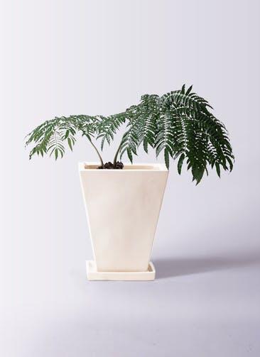 観葉植物 リュウビンタイ 8号 スクエアハット 白 付き