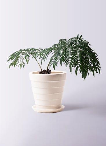 観葉植物 リュウビンタイ 8号 サバトリア 白 付き