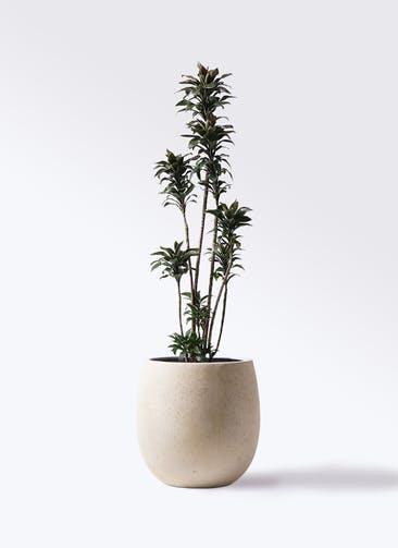 観葉植物 ドラセナ パープルコンパクタ 8号 テラニアス バルーン アンティークホワイト 付き