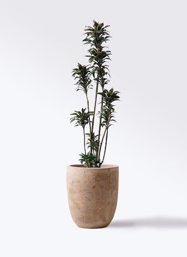 観葉植物 ドラセナ パープルコンパクタ 8号 ルーガ アンティコ アルトエッグ 付き