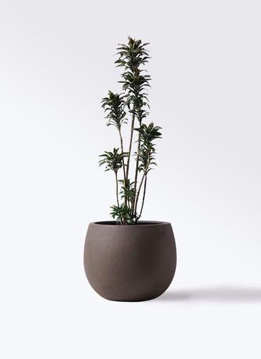 観葉植物 ドラセナ パープルコンパクタ 8号 テラニアス ローバルーン アンティークブラウン 付き