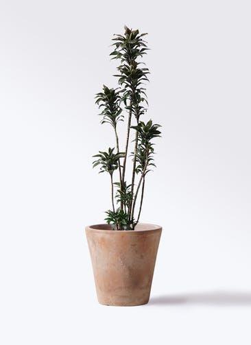 観葉植物 ドラセナ パープルコンパクタ 8号 ルーガ アンティコ ソリッド 付き