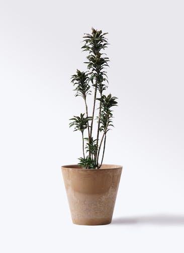 観葉植物 ドラセナ パープルコンパクタ 8号 アートストーン ラウンド ベージュ 付き