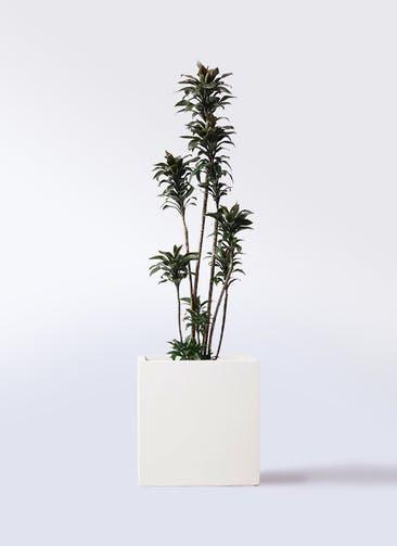 観葉植物 ドラセナ パープルコンパクタ 8号 バスク キューブ 付き