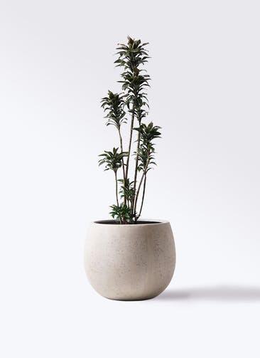 観葉植物 ドラセナ パープルコンパクタ 8号 テラニアス ローバルーン アンティークホワイト 付き