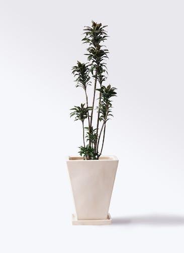 観葉植物 ドラセナ パープルコンパクタ 8号 スクエアハット 白 付き