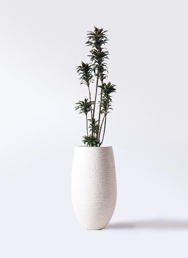 観葉植物 ドラセナ パープルコンパクタ 8号 フォンティーヌトール 白 付き