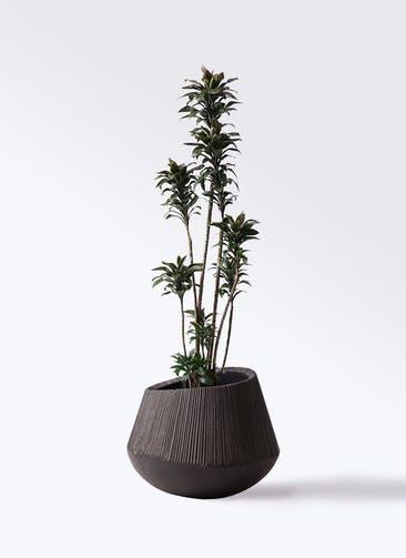 観葉植物 ドラセナ パープルコンパクタ 8号 エディラウンド 黒 付き