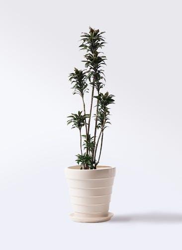 観葉植物 ドラセナ パープルコンパクタ 8号 サバトリア 白 付き