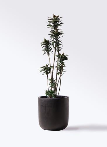 観葉植物 ドラセナ パープルコンパクタ 8号 エルバ 黒 付き