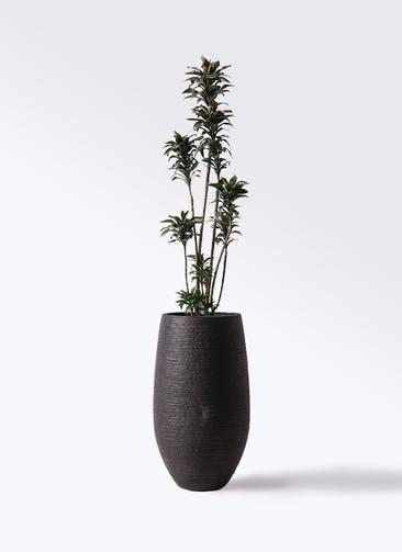 観葉植物 ドラセナ パープルコンパクタ 8号 フォンティーヌトール 黒 付き