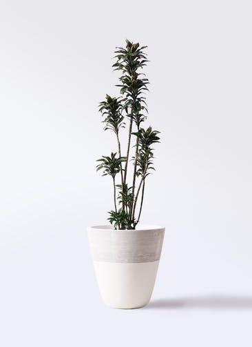 観葉植物 ドラセナ パープルコンパクタ 8号 ジュピター 白 付き