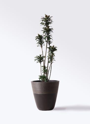 観葉植物 ドラセナ パープルコンパクタ 8号 ジュピター 黒 付き