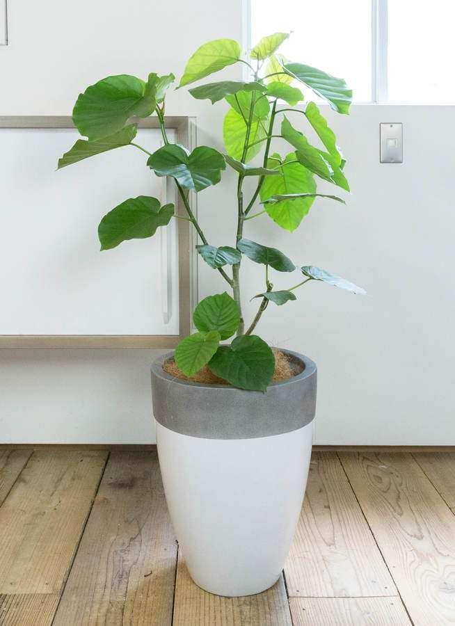 観葉植物 フィカス ウンベラータ 8号 ノーマル ファイバーストーン カプリ 白 付き