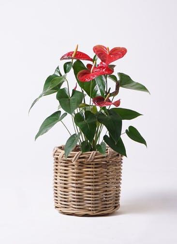 観葉植物 アンスリウム 6号 ダコタ グレイラタン 付き