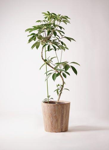 観葉植物 ツピダンサス 10号 曲り ウッドプランター 付き