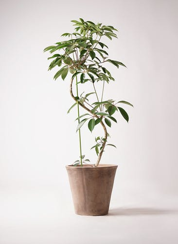 観葉植物 ツピダンサス 10号 曲り ルーガ アンティコ ソリッド 付き