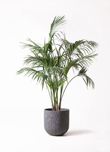 観葉植物 ケンチャヤシ 10号 カルディナダークグレイ 付き