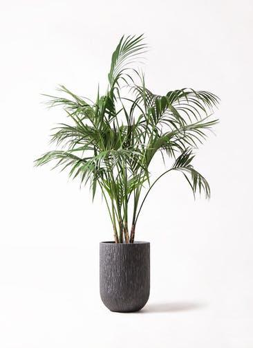 観葉植物 ケンチャヤシ 10号 カルディナトールダークグレイ 付き
