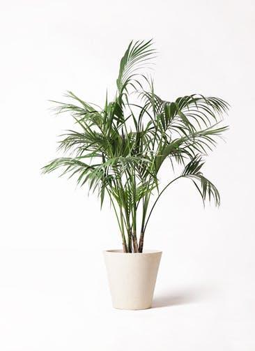 観葉植物 ケンチャヤシ 10号 フォリオソリッド クリーム 付き