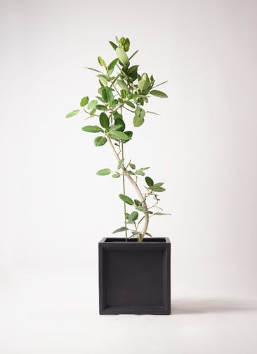 観葉植物 フィカス ベンガレンシス 10号 曲り ブリティッシュキューブ 付き