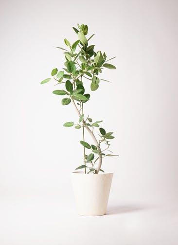 観葉植物 フィカス ベンガレンシス 10号 曲り フォリオソリッド クリーム 付き