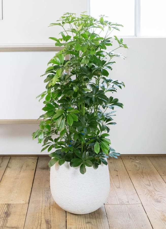 観葉植物 カポック(シェフレラ) 8号 ノーマル エコストーンwhite 付き