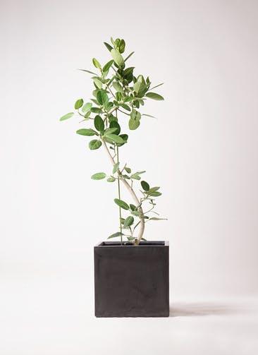 観葉植物 フィカス ベンガレンシス 10号 曲り ファイバークレイ キューブ 付き