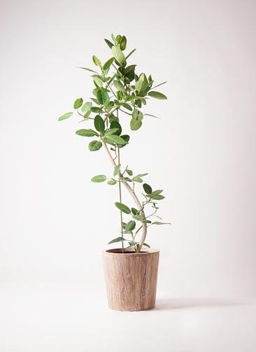 観葉植物 フィカス ベンガレンシス 10号 曲り ウッドプランター 付き